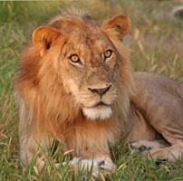 Rob-Zim-Lion-male-202