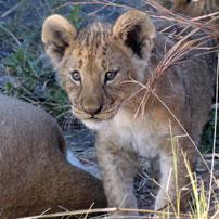 Julia-lion-cub202