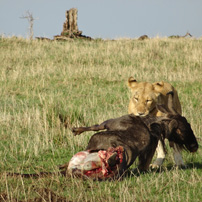Joe-Kenya-17-lion-kill