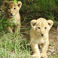 joe-michele-kenya-2017-lion-cubs
