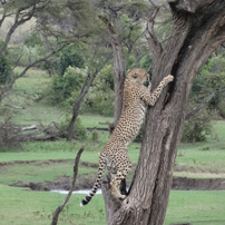 joe-michele-kenya-2017-lone-cheetah-tree