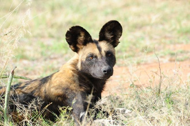 Karisia Walking Safaris Wild Dog
