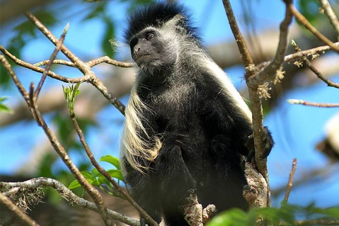 Pinewood Beach Resort & Spa Colobus Monkey