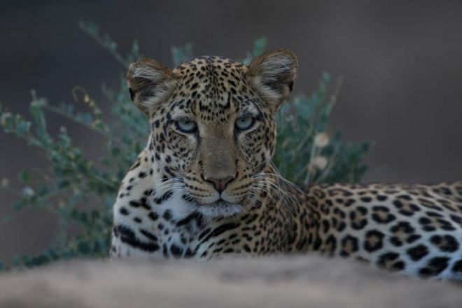 Sarara Camp Leopard