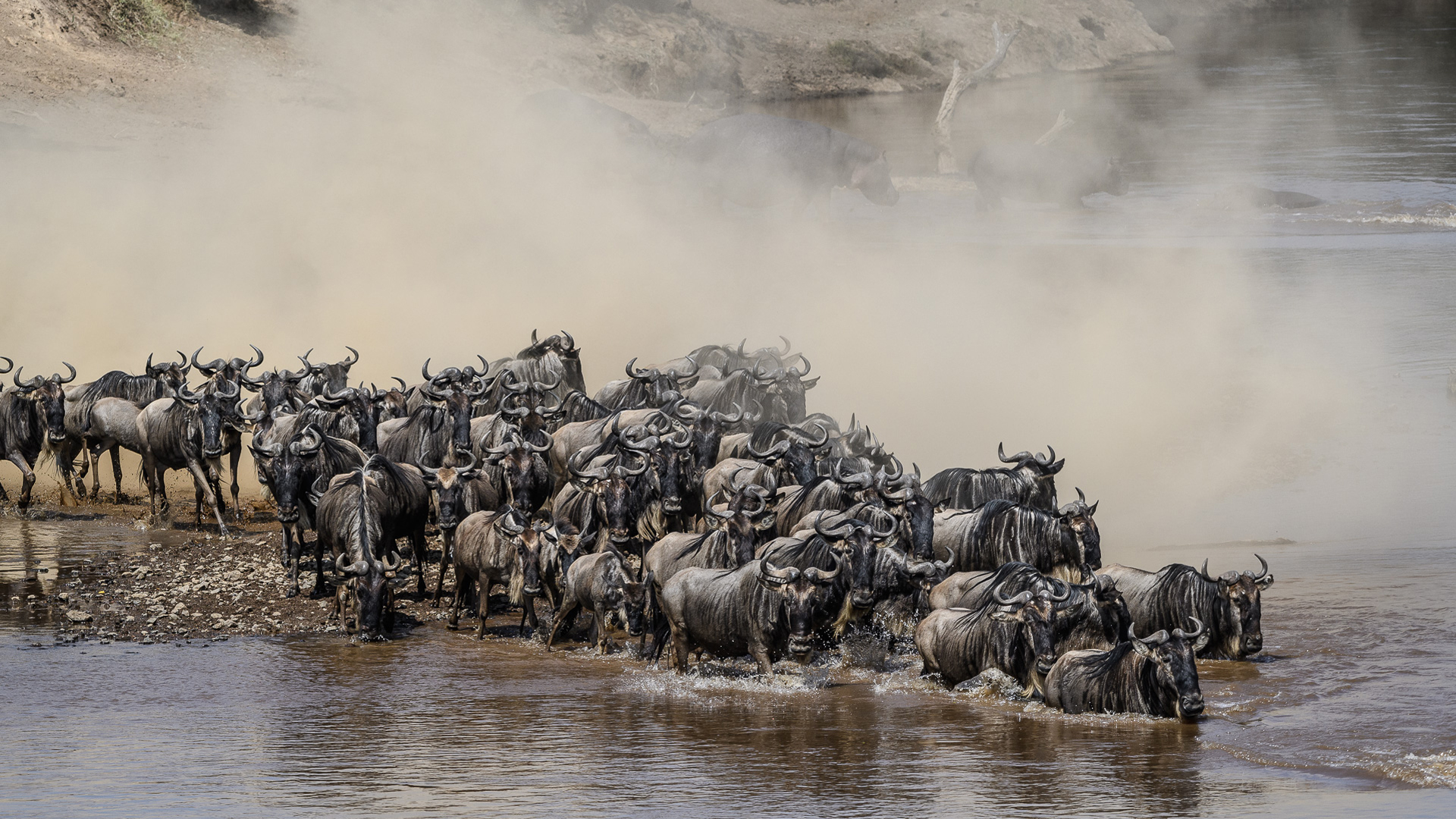 wildebeest migration crossing