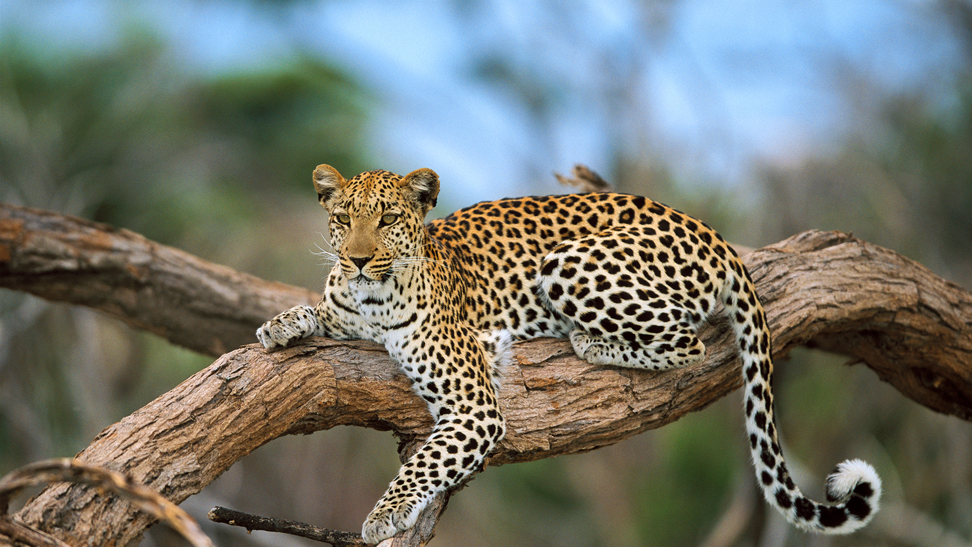 All About Safaris Planning A Safari leopard on branch