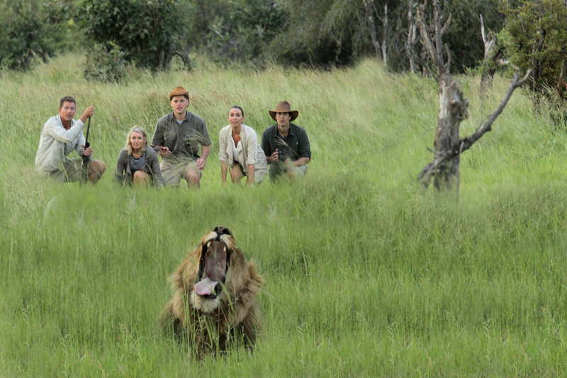 botswana letaka walk lion yawn