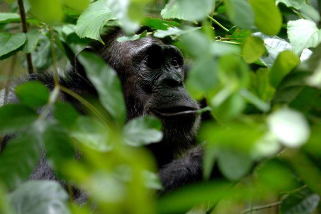 Greystoke Mahale chimpanzee