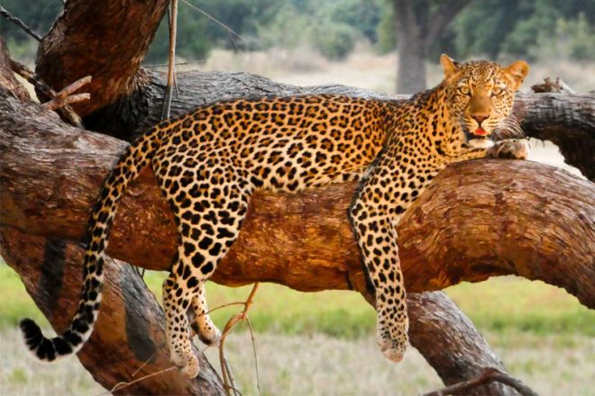 Kafunta River Lodge Leopard in a Tree