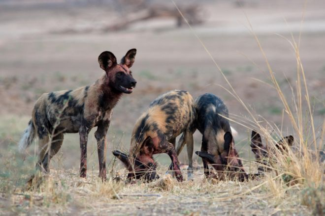 Kafunta River Lodge Wild Dog
