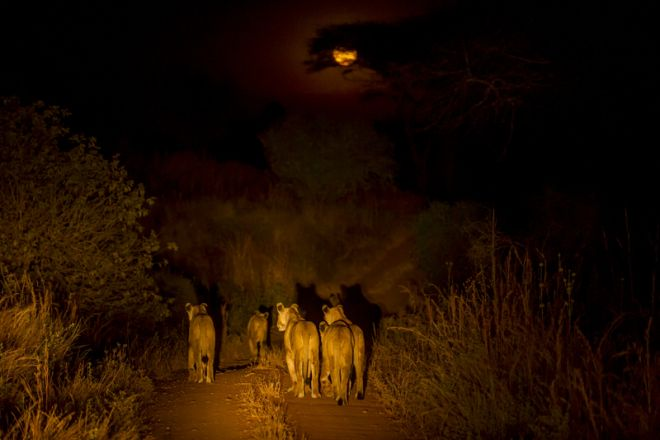 Kigelia Ruaha lions at night