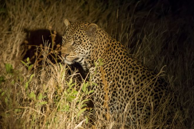 Kuro Tarangire leopard at night
