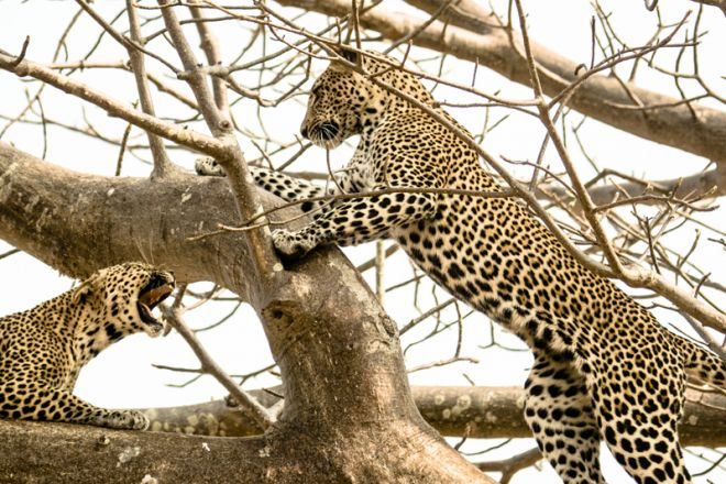 Kwihala Tented Camp leopards in tree