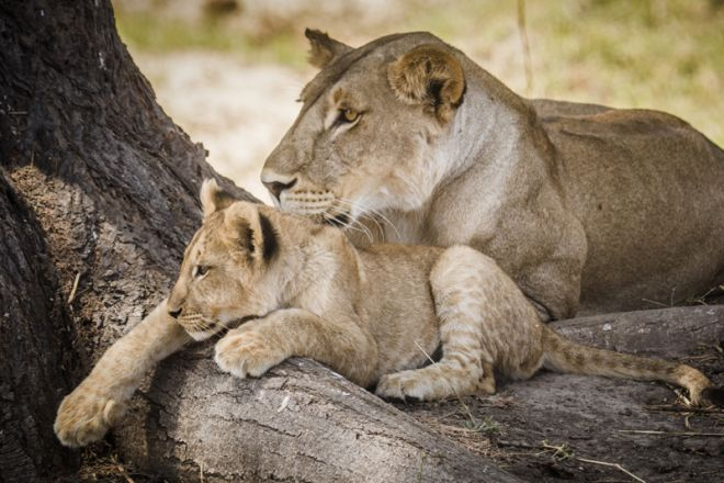 Kwihala Tented Camp lion and cub