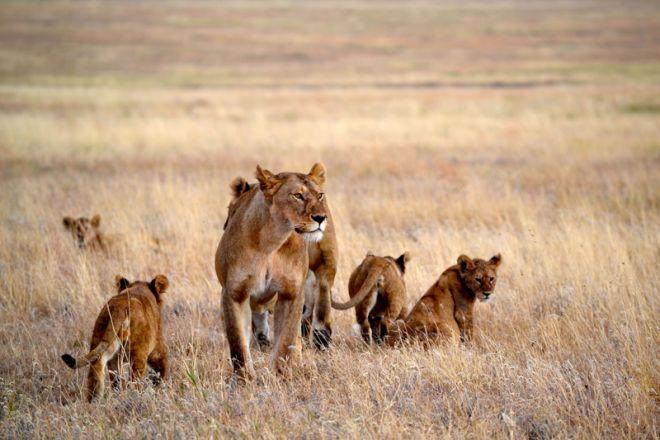 Namiri Plains lion pride and cubs