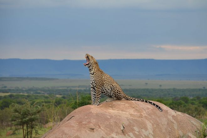 Olakira Migration Camp leopard on a rock