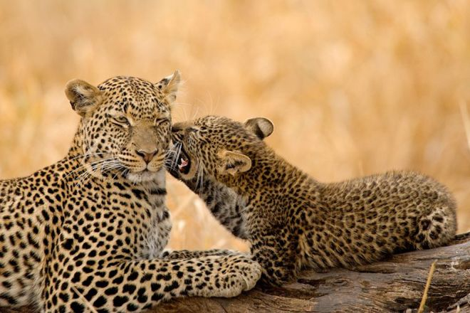 Olivers Camp leopard and cub
