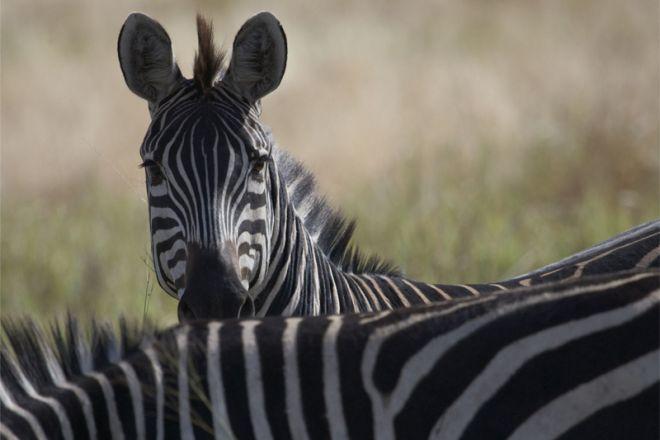 Olivers Camp zebra