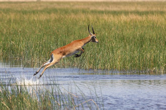 Selinda Explorers Camp Lechwe Jumping