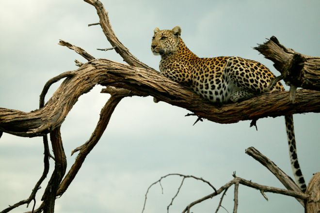 Selinda Explorers Camp Leopard in a Tree