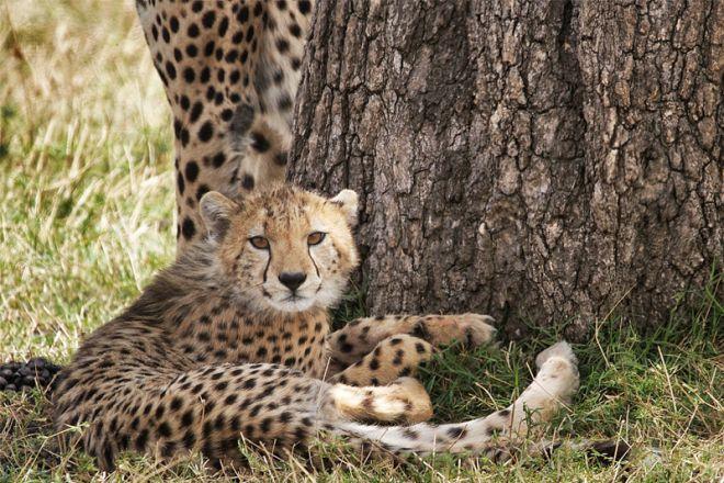 Serian Serengeti Kusini Lamai Camps cheetah cub