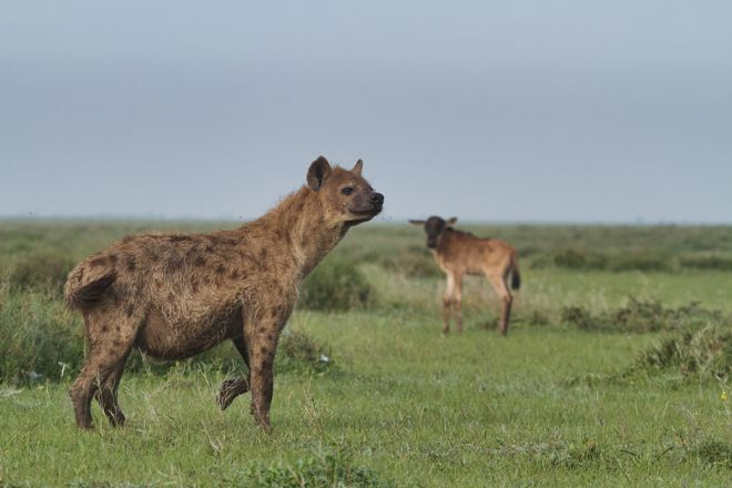 Serian Serengeti Kusini Lamai Camps hyena and wildbeest calf
