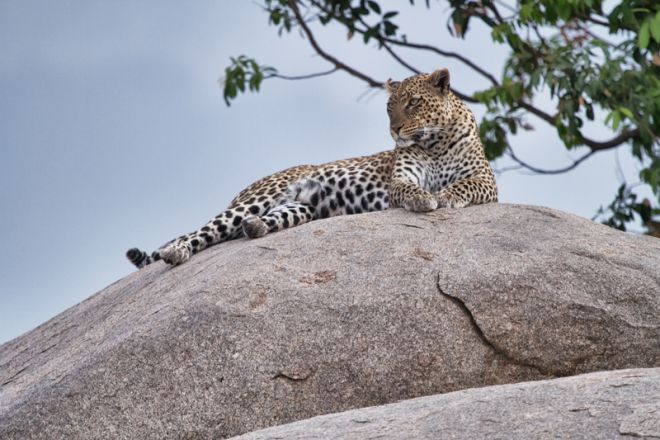 Serian Serengeti Kusini Lamai Camps leopard on rock