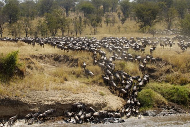 Serian Serengeti Kusini Lamai Camps wildebeest migration crossing mara river
