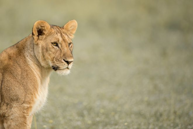 Singita Faru Faru Lodge lioness
