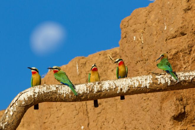 Time + Tide Chongwe Camp Bee Eaters