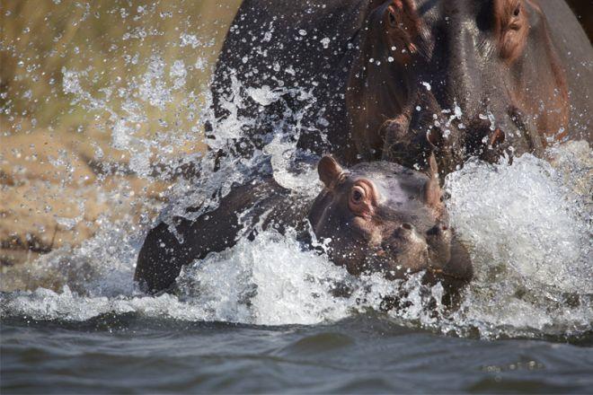 Time + Tide Chongwe House Hippo Calf