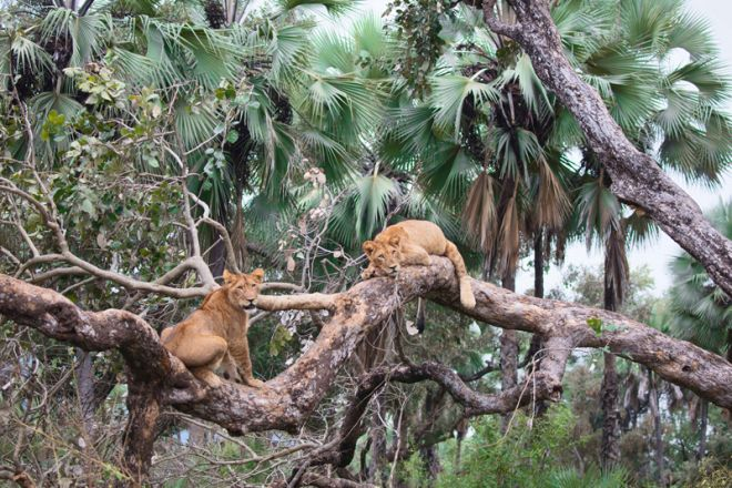 Time + Tide Chongwe Camp Lions in Tree