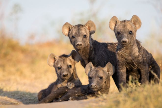 Time + Tide King Lewanika Wild Dog Puppies