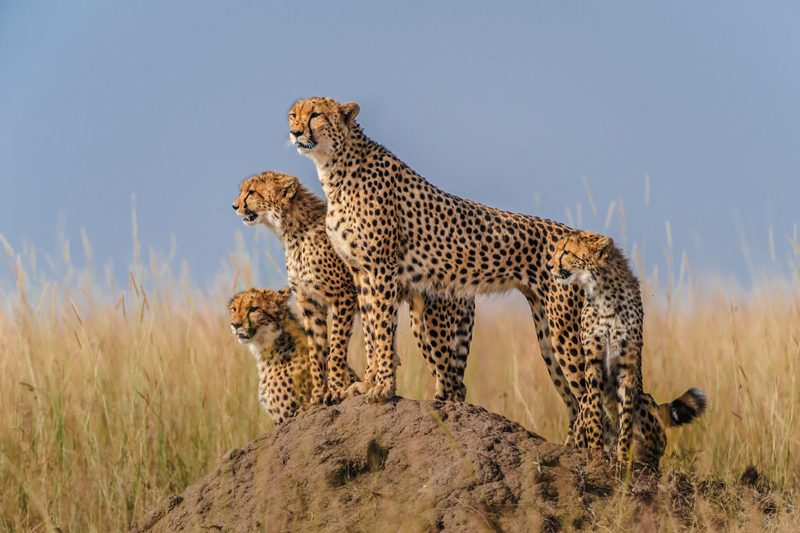 value three cheetah