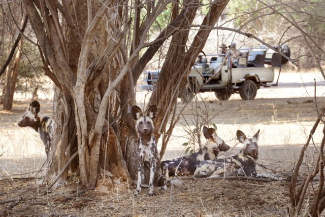 Chiawa Camp Game Drive Wild Dogs