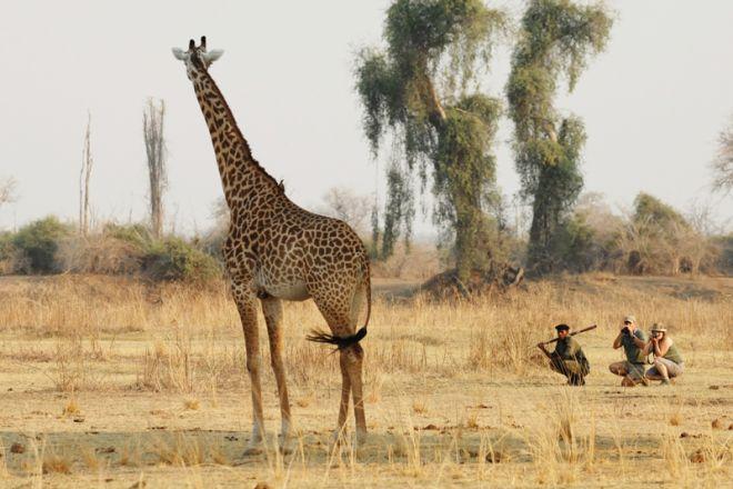 Chikoko Trails Walking Giraffe