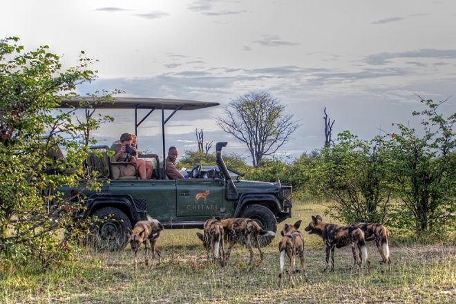 Chitabe Camp Game Drive Wild Dogs