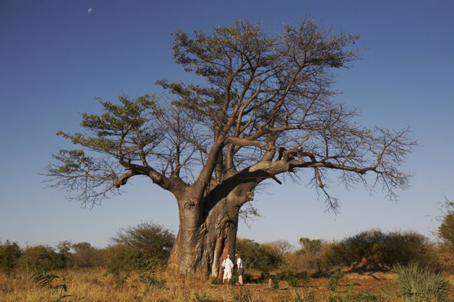 Islands of Siankaba Walk Baobab