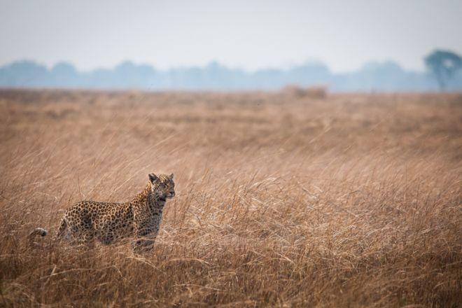 Jeffery & McKeith Leopard