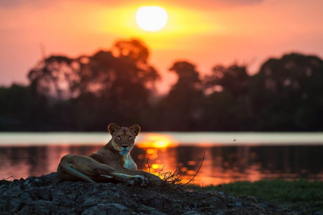 Jeffery & McKeith Lion Sunset