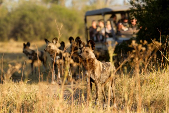 Letaka Private Mobile Safaris Game Drive Wild Dogs