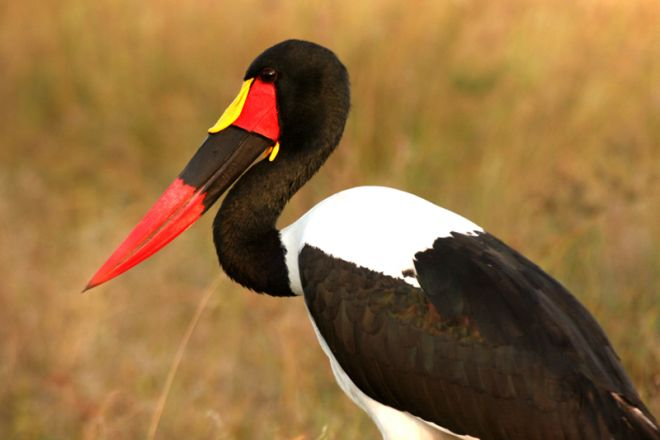 Letaka Private Mobile Safaris Saddle Billed Stork