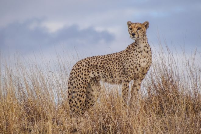 lewa-house-cheetah-c_lh
