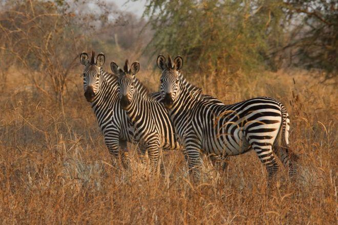 Mapazi Camp Zebra