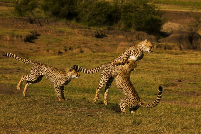 Mara Plains Camp Cheetah Playing