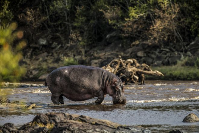 Mara Plains Camp Hippo out of water