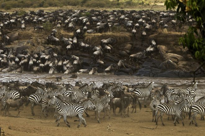 Mara Plains Camp Migration Zebra Wildebeest