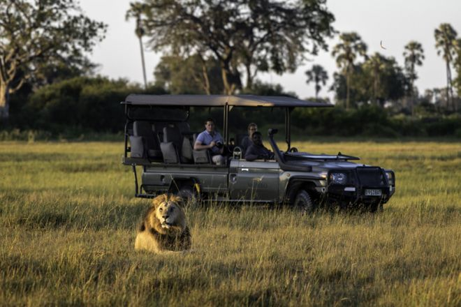 Mombo Camp Game Drive Lion
