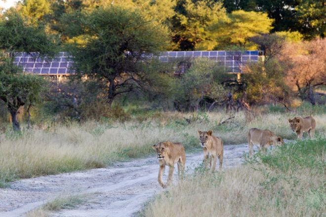Mombo Camp Solar Lions