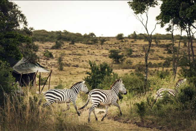 Offbeat Mara Camp Tent Setting Zebra